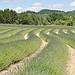 Les vagues vertes de lavandes by Leo Ad - Oppedette 04110 Alpes-de-Haute-Provence Provence France
