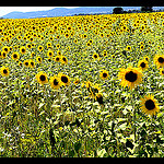 Champs de tournesols by  - Oraison 04700 Alpes-de-Haute-Provence Provence France
