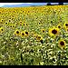 Champs de tournesols par domleg - Oraison 04700 Alpes-de-Haute-Provence Provence France