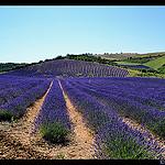 Relief de lavande en provence par domleg - Puimichel 04700 Alpes-de-Haute-Provence Provence France