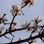 Branche d'amandiers en fleurs par Locations Moustiers - Puimoisson 04410 Alpes-de-Haute-Provence Provence France