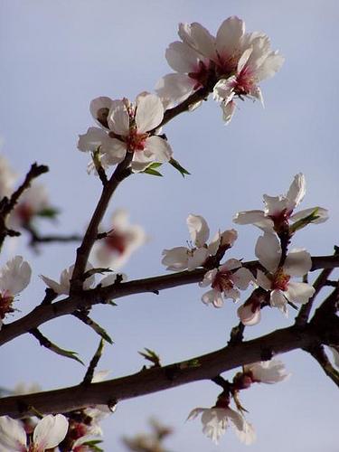 Branche d'amandiers en fleurs par Locations Moustiers