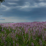 Sauge sous l'orage par Charlottess - Redortiers 04150 Alpes-de-Haute-Provence Provence France