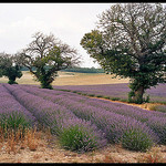 Lavandes de Provence par Patchok34 - Redortiers 04150 Alpes-de-Haute-Provence Provence France