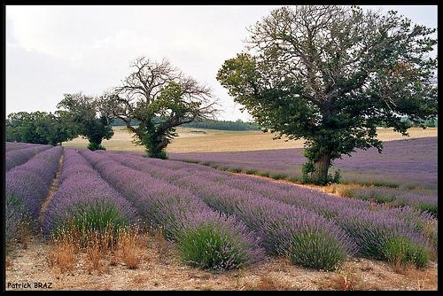 Lavandes de Provence par Patchok34