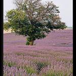 Arbre au millieu de la Lavande by  - Redortiers 04150 Alpes-de-Haute-Provence Provence France
