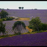 Superbes champs de lavandes by  - Redortiers 04150 Alpes-de-Haute-Provence Provence France