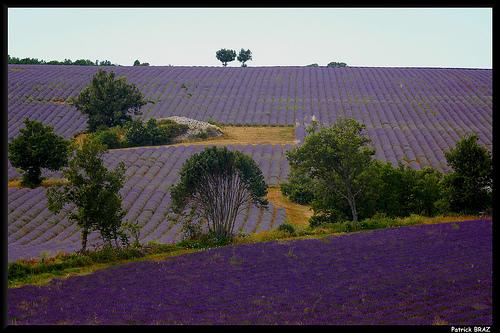 Superbes champs de lavandes par Patchok34