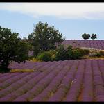 Lavandes à Redortiers par Patchok34 - Redortiers 04150 Alpes-de-Haute-Provence Provence France
