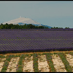 Lavandes et Mont Ventoux by  - Redortiers 04150 Alpes-de-Haute-Provence Provence France