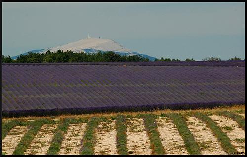 Lavandes et Mont Ventoux by Patchok34