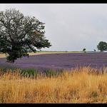 Champ de Lavandes à l'est du Mont-Ventoux by Patchok34 - Revest du Bion 04150 Alpes-de-Haute-Provence Provence France