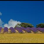 Blé, lavande, chênes et ciel bleu de Provence by Patchok34 - Revest du Bion 04150 Alpes-de-Haute-Provence Provence France