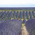 Les champs de lavandin de Valensole par Margotte apprentie naturaliste 5 - Riez 04500 Alpes-de-Haute-Provence Provence France
