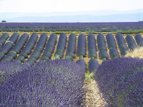 Les champs de lavandin de Valensole by Margotte apprentie naturaliste 5