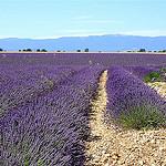 Champs de Lavandin du plateau de Valensole by Margotte apprentie naturaliste 5 - Riez 04500 Alpes-de-Haute-Provence Provence France