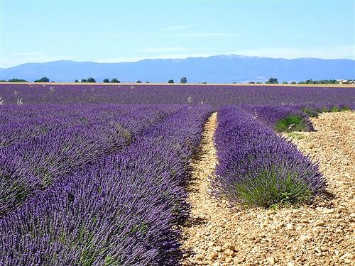 Champs de Lavandin du plateau de Valensole par Margotte apprentie naturaliste 5