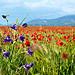 Pied d'Alouette violette et marée de coquelicots dans le Verdon by Margotte apprentie naturaliste 5 - Roumoules 04500 Alpes-de-Haute-Provence Provence France