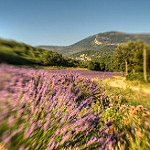 Saint Jurs Champs / Smell of Provence by yesmellow - St. Jurs 04410 Alpes-de-Haute-Provence Provence France