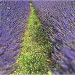 Contraste de Lavande à Saumane par Charlottess - Saumane 04150 Alpes-de-Haute-Provence Provence France