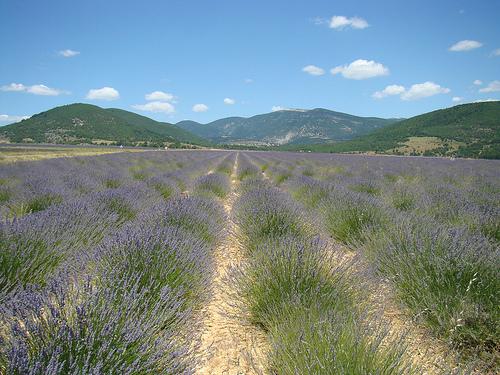 Lavender in La Haute Provence par UniqueProvence