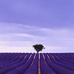 La géométrie de la Lavande par Enrico Cusinatti -   Alpes-de-Haute-Provence Provence France