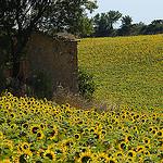 Tournesols en Haute-Provence par Michel Seguret - Valensole 04210 Alpes-de-Haute-Provence Provence France