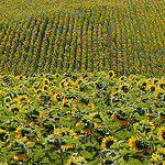 Tournesols en Haute-Provence par Michel Seguret (+ 3.300.000 views) - Manosque 04100 Alpes-de-Haute-Provence Provence France
