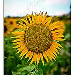 Tournesol / Sunflower par F.I.T. World - St. Michel l'Observatoire 04870 Alpes-de-Haute-Provence Provence France