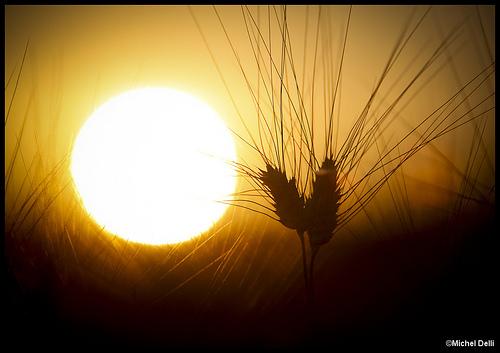 Soleil couchant sur les blés par Michel-Delli