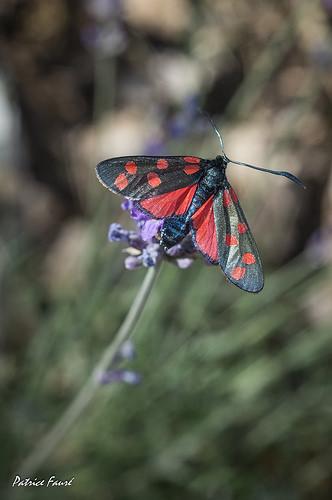 Papillon rouge et noir par Patrice Fauré