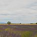 Paysage de lavandes by Dri.Castro - St. Laurent du Verdon 04500 Alpes-de-Haute-Provence Provence France
