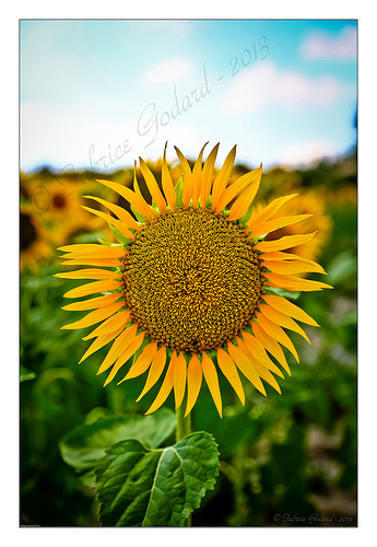 Tournesol / Sunflower by F.I.T. World