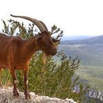Verdon - rencontre avec une chèvre par  - Sainte Croix du Verdon 04500 Alpes-de-Haute-Provence Provence France