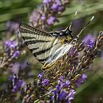 Papillon : le flambé par marcol-04 - Ste. Tulle 04220 Alpes-de-Haute-Provence Provence France