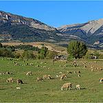 Les moutons de Sisteron / Haute-Provence par Babaou - Thoard 04380 Alpes-de-Haute-Provence Provence France