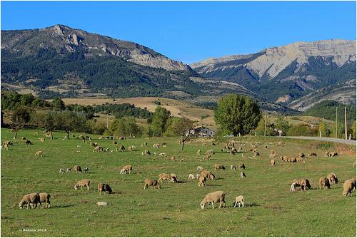 Les moutons de Sisteron / Haute-Provence par Babaou