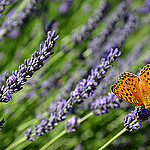 le papillon et les lavandes by christian.man12 - Valensole 04210 Alpes-de-Haute-Provence Provence France