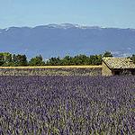Le cabanon dans les lavandes par christian.man12 - Valensole 04210 Alpes-de-Haute-Provence Provence France