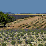 Plantations de lavandes de divers ages by christian.man12 - Valensole 04210 Alpes-de-Haute-Provence Provence France