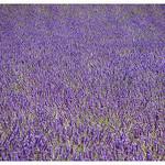 Valensole - papier peint de lavande by Manuel.A.69 - Valensole 04210 Alpes-de-Haute-Provence Provence France