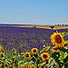 Champs de lavande et tournesol by Jean et Coco - Valensole 04210 Alpes-de-Haute-Provence Provence France