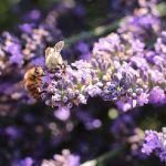 Partage - Abeilles au travail sur la lavande par leathomson83 - Valensole 04210 Alpes-de-Haute-Provence Provence France