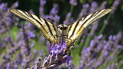Scarce Swallowtail on lavender by GéCau