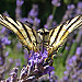 Scarce Swallowtail on lavender par  - Valensole 04210 Alpes-de-Haute-Provence Provence France