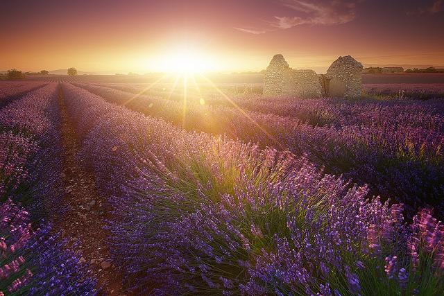 Magic Lavender - sunset on lavender field (Alpes-de-Haute-Provence - Valensole) par jeanjoaquim