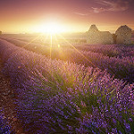 Magic Lavender - sunset on lavender field par jeanjoaquim - Valensole 04210 Alpes-de-Haute-Provence Provence France