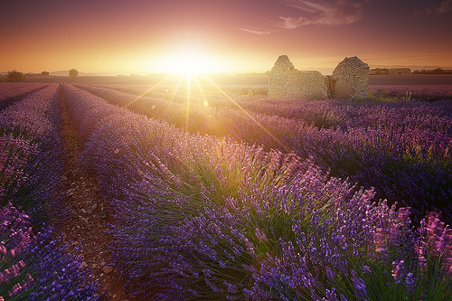 Magic Lavender - sunset on lavender field par jeanjoaquim