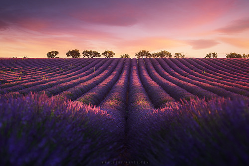 Entre rose et violet - Lavender fields in Provence (Valensole, France) by Beboy_photographies