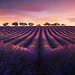 Entre rose et violet - Lavender fields in Provence (Valensole, France) by Beboy_photographies - Valensole 04210 Alpes-de-Haute-Provence Provence France